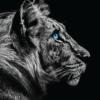 Tiger plakat sorthvid sort og hvid tiger