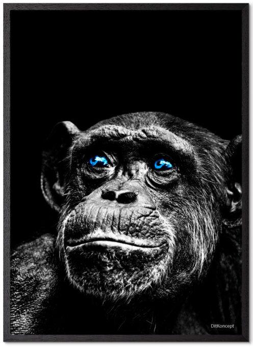 Chimpanse-Plakat Med Blå Øjne