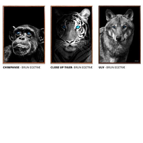 Chimpanse-Tiger-Ulv-Plakat