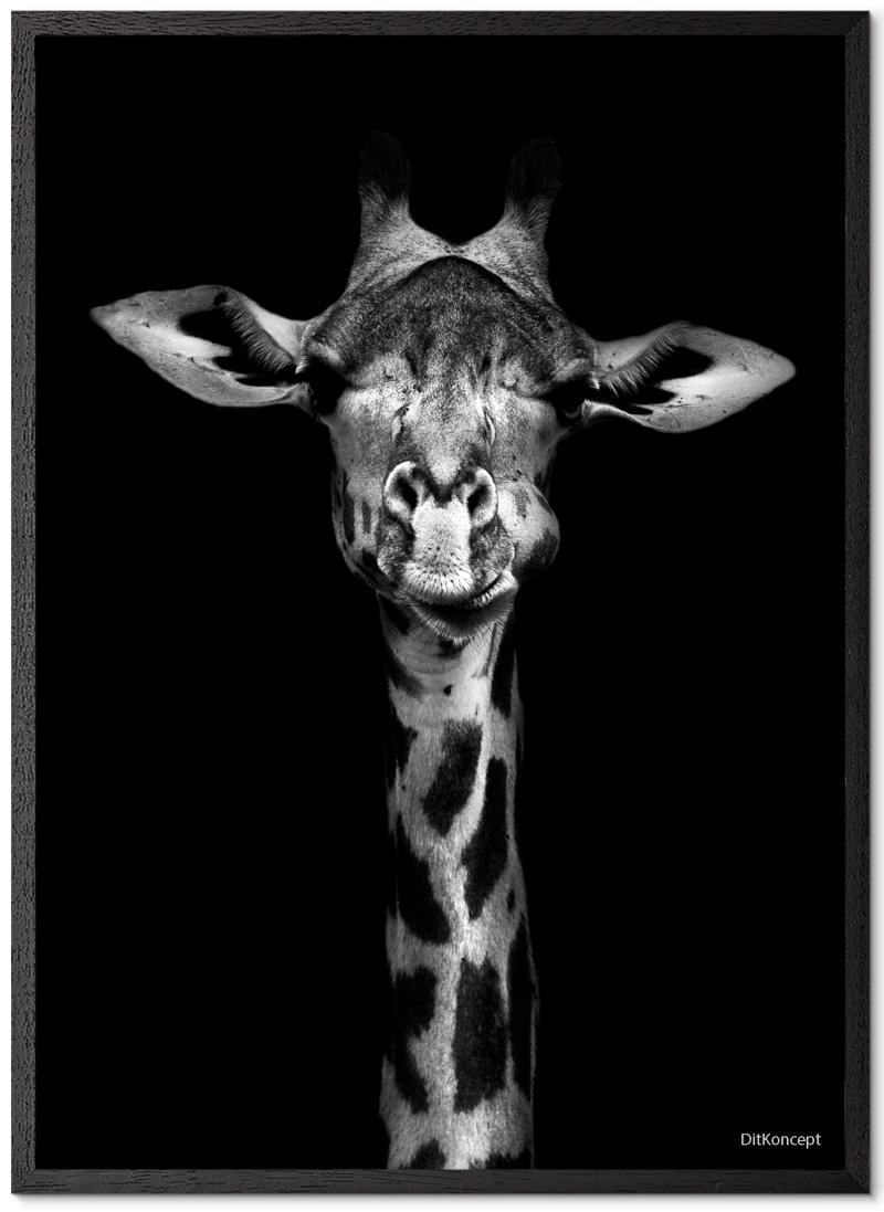 Giraf Plakat Med Blå Øjne