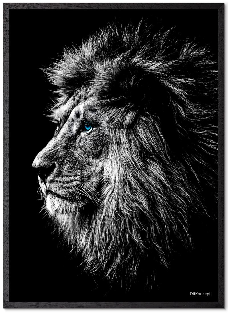 Løve Plakat Med Blå Øjne