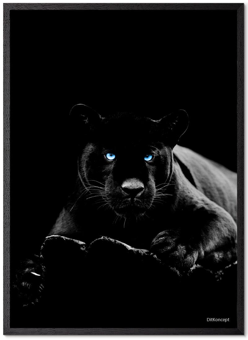 Puma Plakat Med Blå Øjne