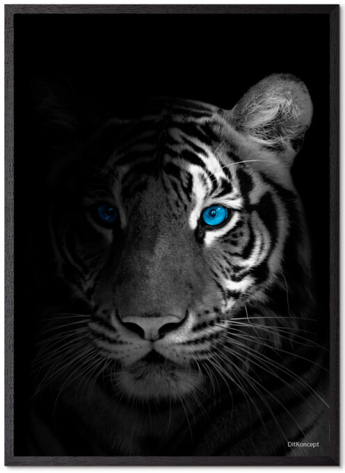 Tiger Plakat 2 Med Blå Øjne