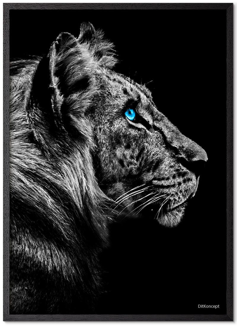 Tiger Plakat Med Blå Øjne