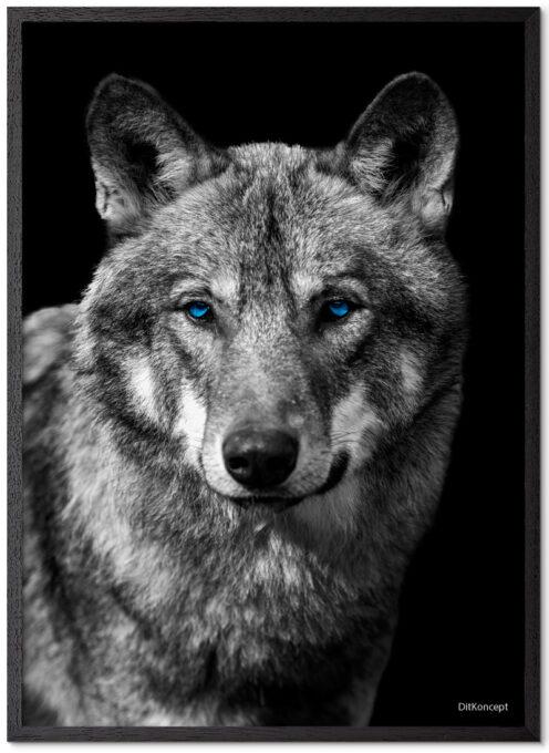 Ulve Plakat Med Blå Øjne