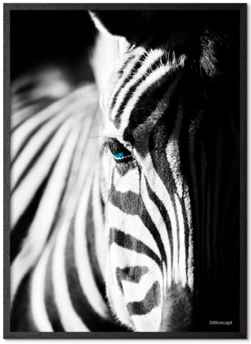 Zebra Plakat Med Blå Øjne