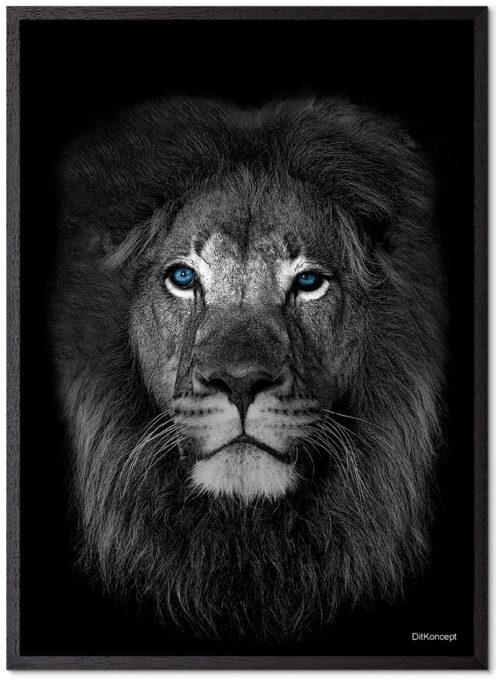 Løve-Blå-Øjne-Sort-Plakatramme